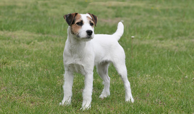 Pictures Of Black And White Parson Terrier Dog
