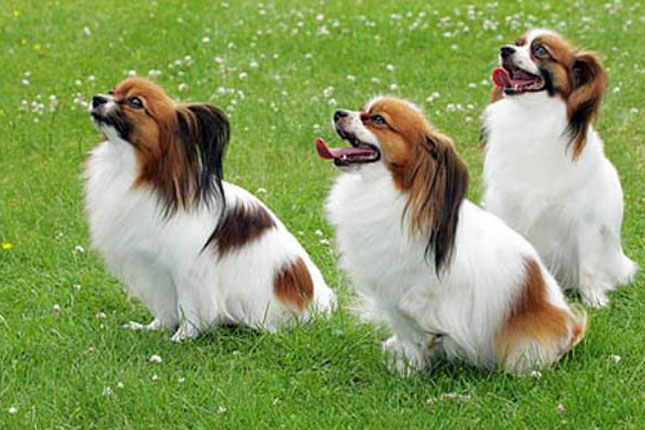 Papillon Information - Dog Breeds at thepetowners