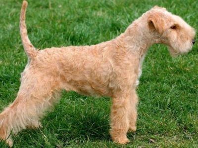 Lakeland Terrier Information - Dog Breeds at thepetowners