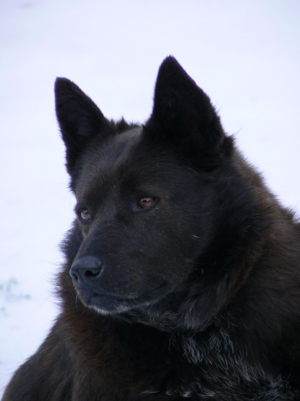Schipperke Information - Dog Breeds at thepetowners